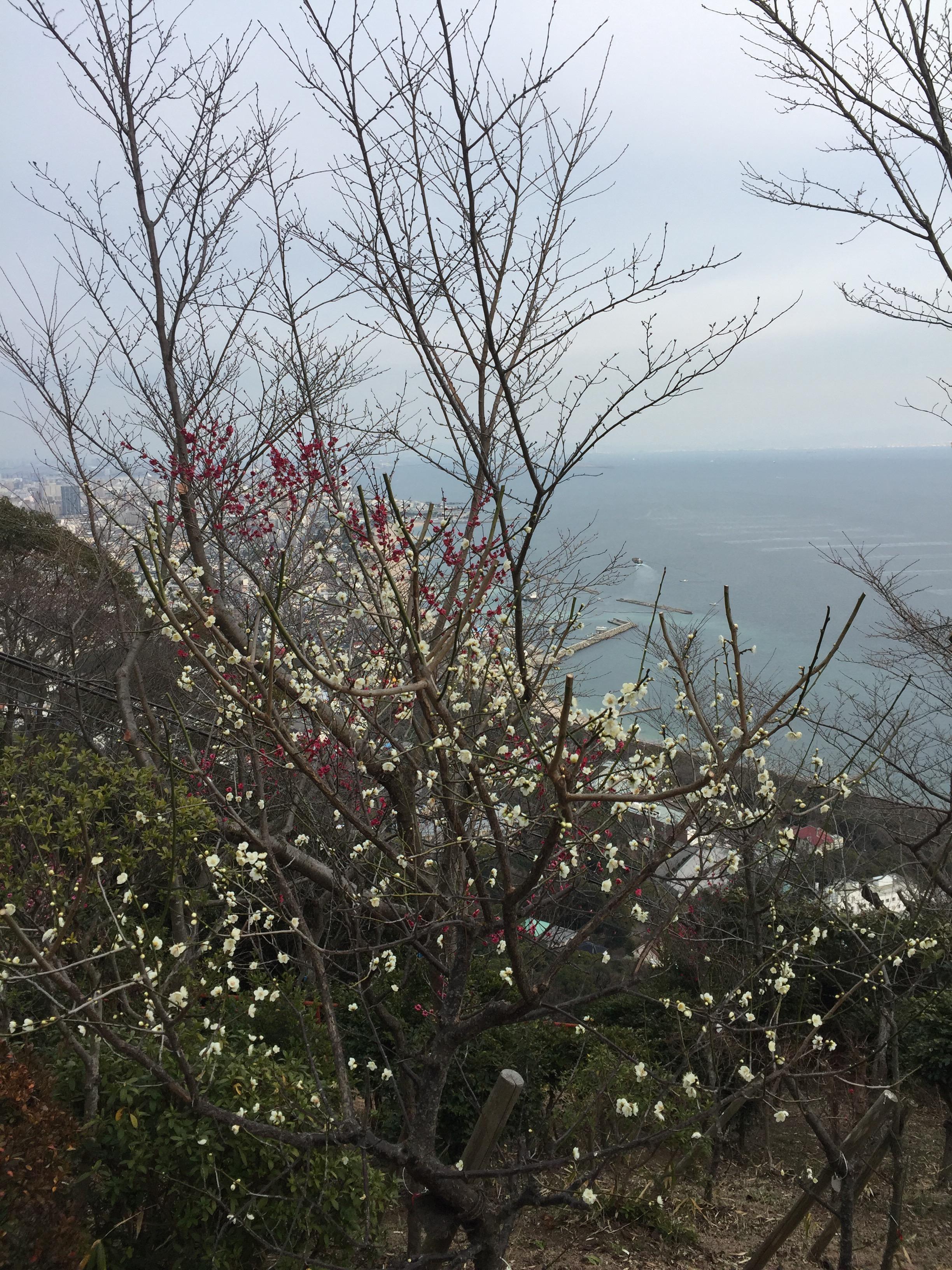 須磨浦の梅